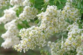 40 White Crepe Myrtle Crape Tree Shrub Lagerstroemia Flower Seeds ...