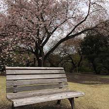 cherry blossom japan garden free