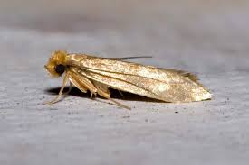 clothes and pantry moths