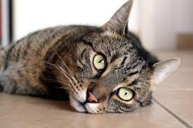 Image libre: chat mignon, chaton, animal, chat couché, portrait