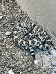 San Lucan Speckled Rattlesnake Crotalus Mitchellii Mitchellii