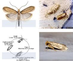 a review on woolen cloth s moth and its