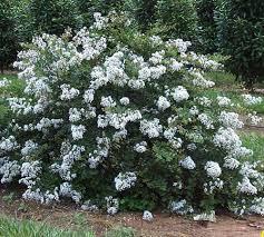 PIXIE WHITE (2'-3' Pure White)