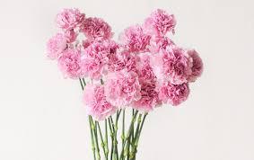 pahami bahasa bunga ketahui arti bunga anyelir berdasarkan warnanya