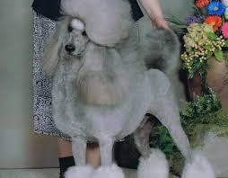 standard poodle dog breeders puppies