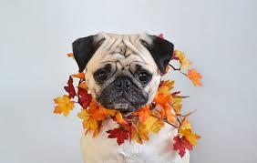 wallpaper pug dog foliage acer autumn