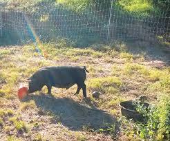A Farming Anecdote The Electric Fence And The Guinea Hog Huckleberry Press