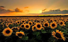 sunflower desktop wallpapers top free