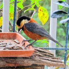 たじみ百景/多治見の野鳥ヤマガラ階の窓の外にヒマワリの種を置いて ...