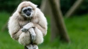 วอลเปเปอร์ : สัตว์ป่า, ชะนี, ลิงกัง, สัตว์เลี้ยงลูกด้วยนม,  สัตว์มีกระดูกสันหลัง, เจ้าคณะ, ลิงโลกเก่า 1920x1080 - Obseek - 148711 -  วอลเปเปอร์ hd - WallHere