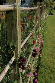 Sweet Pea Fence Zinfandel Is The Deep Burgundy Closest To The Camera Sensory Garden Sweet Pea Flowers Garden Inspiration