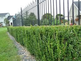 Boxwood Degroot S Nurseries