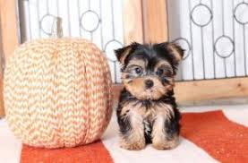 teacup toy yorkies puppies available
