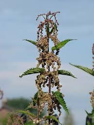 Image result for stinging nettle seeds