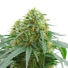 Overlord OG Feminized Marijuana Seeds - Pacific Seed Bank