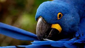 parrots hyacinth macaw wallpapers hd
