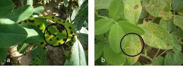 symptoms of late leaf spot