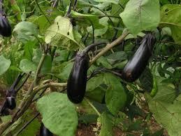 夏野菜の植え付けは5月に!家庭菜園(プランター)で育つ夏野菜13選 ...