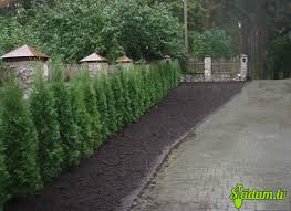 Emerald Green Arborvitae Planting Distance The Most Popular Types Of Hedges Arborvitae Landscaping Farmhouse Landscaping Emerald Green Arborvitae