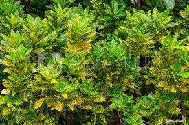 garden croton codiaeum variegatum
