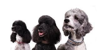 5 best dry dog food brands for a poodle