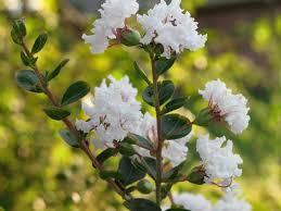 Amazon.com: 35 WHITE CREPE MYRTLE Lagerstroemia Flowering Shrub ...