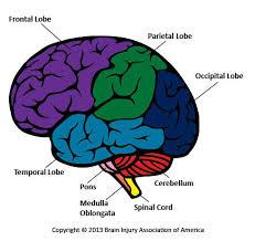 chapter 13 brain cranial nerves