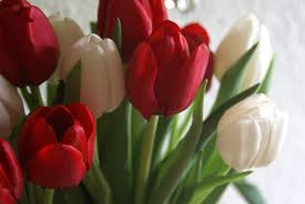 صور وردة التوليب