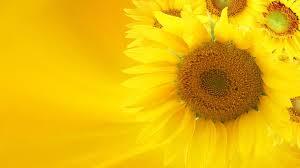 sunflower background flower 164744