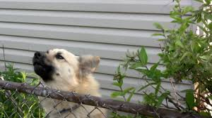 1 983 Dog Barking Stock Videos And Royalty Free Footage Istock