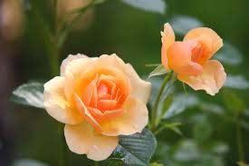 اجمل وردة طبيعية