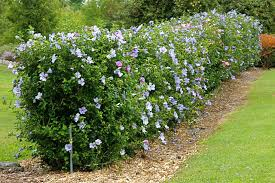 Natural Hedges To Block Neighbors Privacy Wall Garden Ideas Gardening Forums