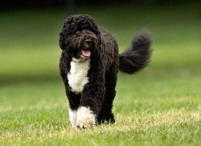Image result for portuguese water dog""