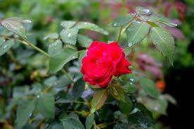 rose red natural red roses flower