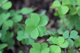 lucky four leaf clover photography