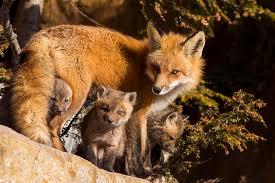 fox family photograph by mircea costina