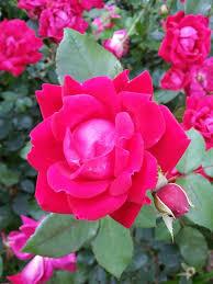 single rose blossom flower red roses