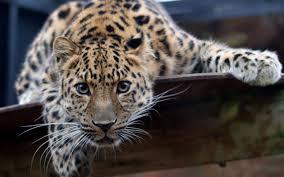 221 jaguar hd wallpapers background