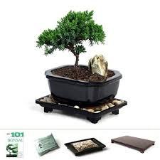 miniature young juniper bonsai tree