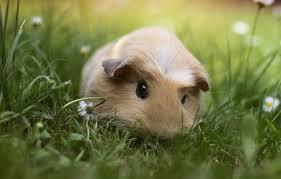 wallpaper gr guinea pig