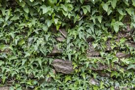 IVY STONE WALL - Buy this stock photo and explore similar images at Adobe  Stock | Adobe Stock