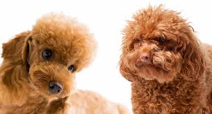 toy poodle vs miniature poodle can