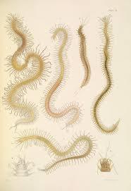 File:A monograph of the British marine annelids 1910 LI.jpg ...