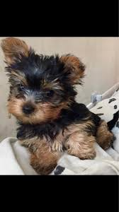 miniature yorkshire terrier puppies offer