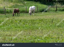 Two Horses Graze High Tensile Wire Animals Wildlife Stock Image 1114913003