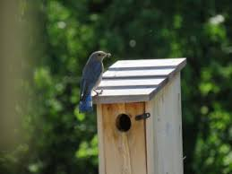 Building Birdhouses For Bluebirds News From Extension