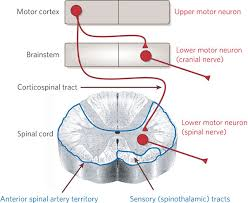 lesions of upper motor neurons and
