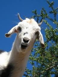 Risultato immagini per capre
