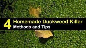 4 do it yourself duckweed strategies