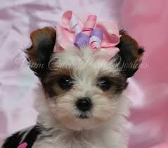 small akc parti yorkie puppy